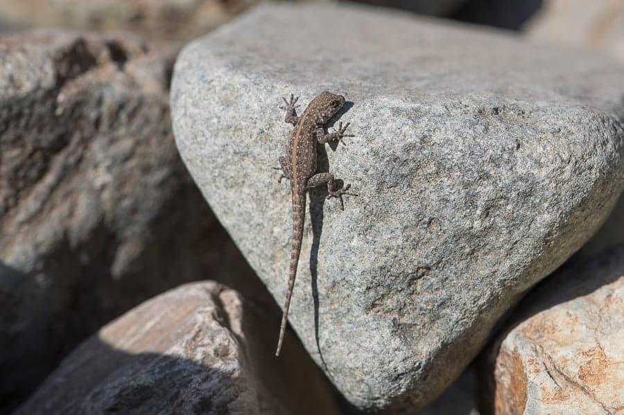 Rock Semaphore Gecko – Raydah Escarpment