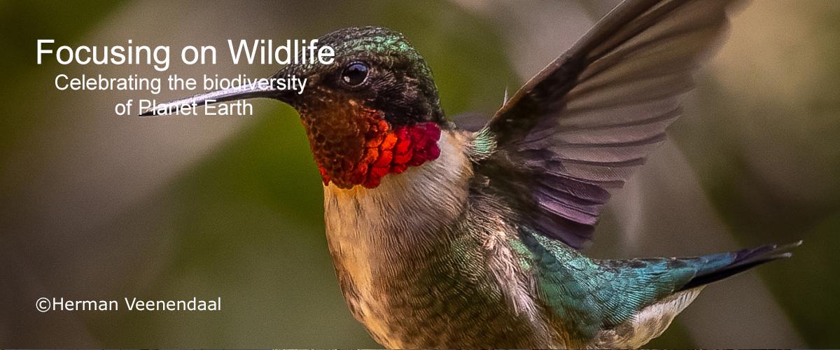 Ruby-throated Hummingbird by Herman Veenendaal
