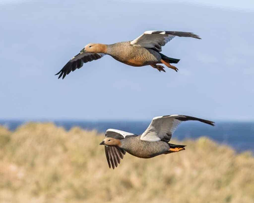 New study reveals alarming decline of Patagonian geese