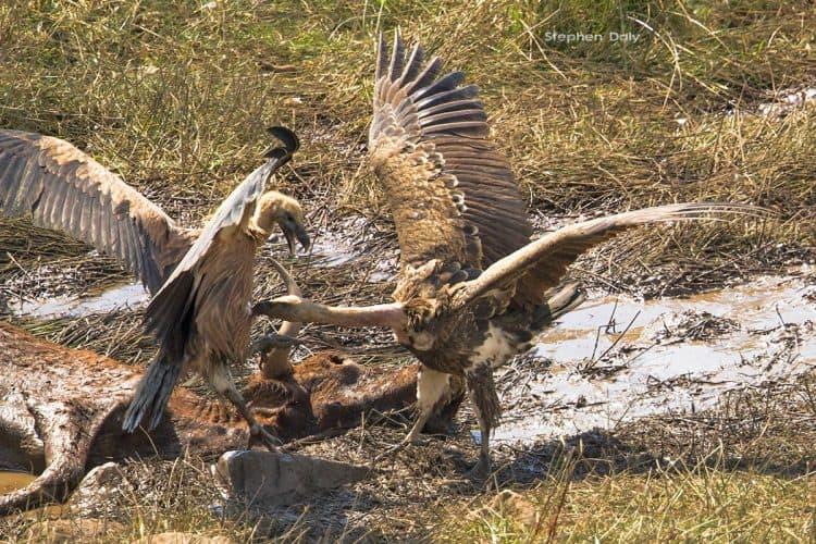 Ruppells Griffon fight Spain  6397