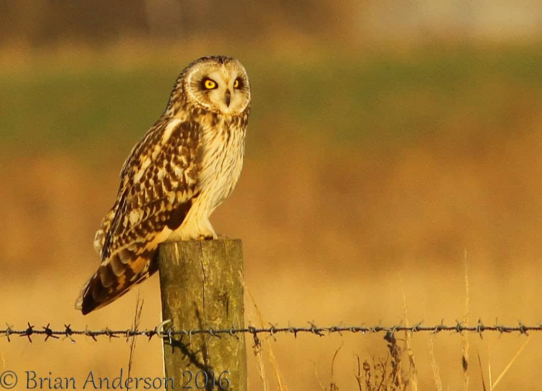Short eared Owls at Burwell Fen