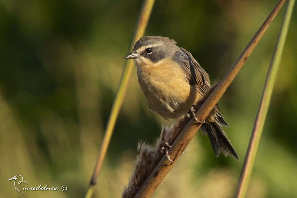 Cachilo canela (Long-tailed reed-Finch) Donacospiza albifrons