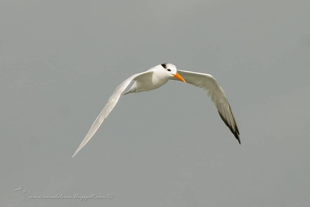 Gaviotín Real (Royal Tern) Thalasseus maximus (Boddaert, 1783)