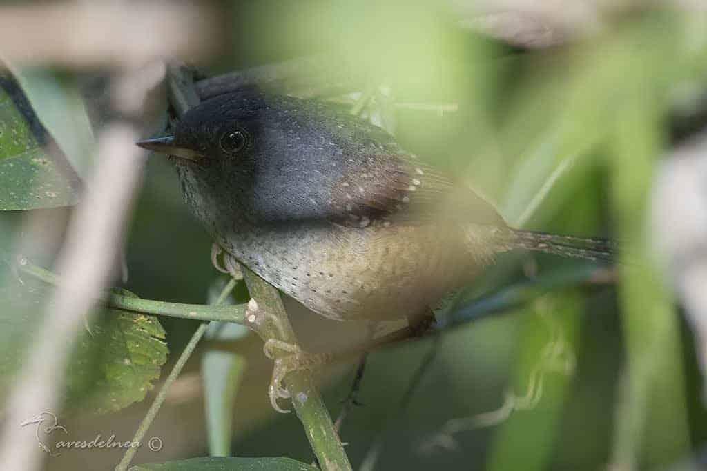 Gallito Overo – Spotted Bamboowren – Psilorhamphus guttatus (Ménétries, 1835)