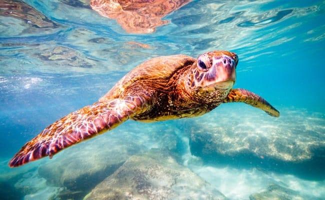 Victory! TripAdvisor stops selling tickets to cruel Sea Turtle farm