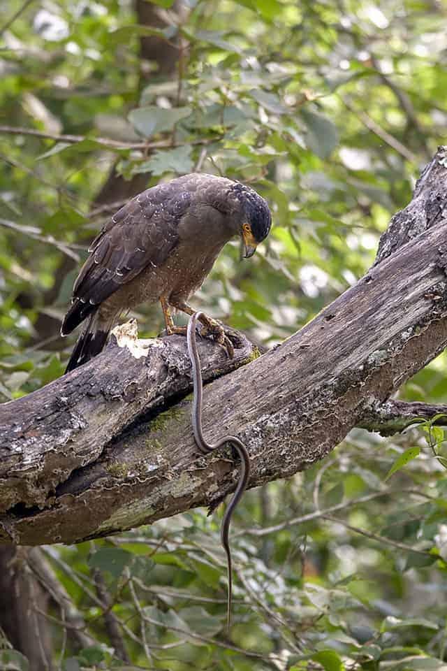 Omnipresent raptors of Kabini