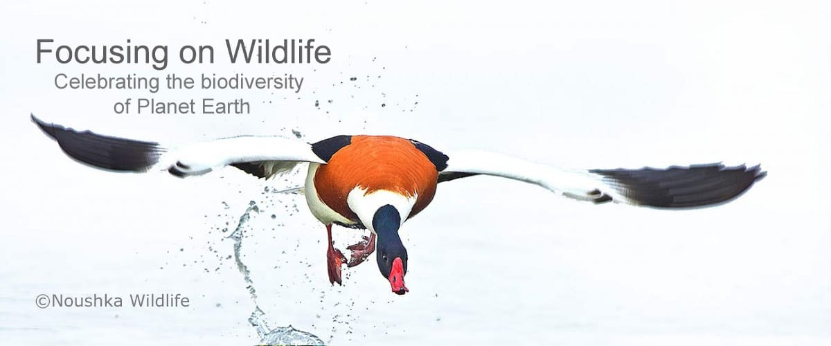 Shelduck Take-off by Noushka Wildlife