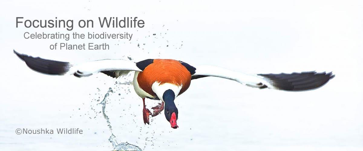 Shelduck Take off by Noushka Wildlife 1