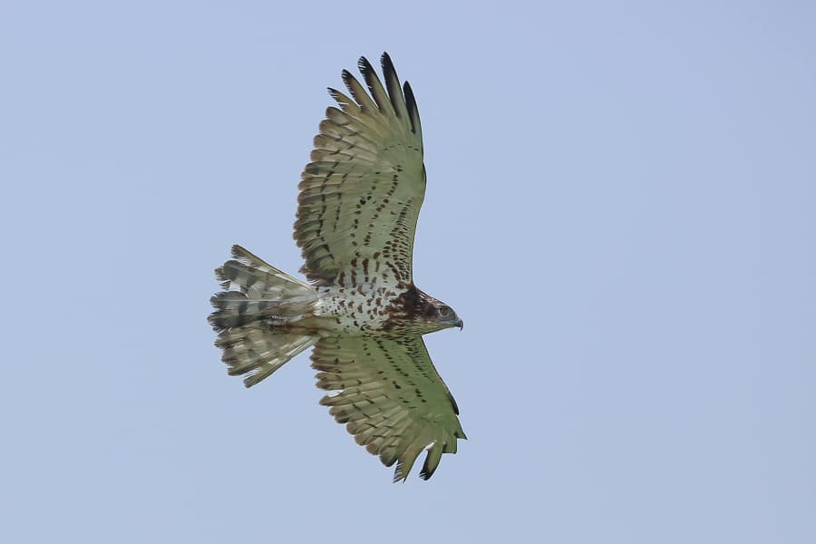 Short-toed Snake Eagle – Ash Shargiyah Development Company Farm