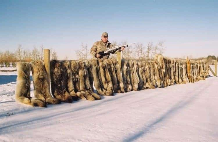 POLL: Should the Alberta coyote hunting contest be stopped?