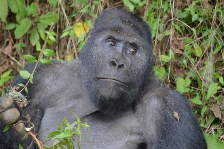 Agriculture, mining, hunting push critically endangered gorillas to the brink
