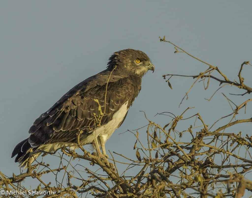 Serengeti raptors