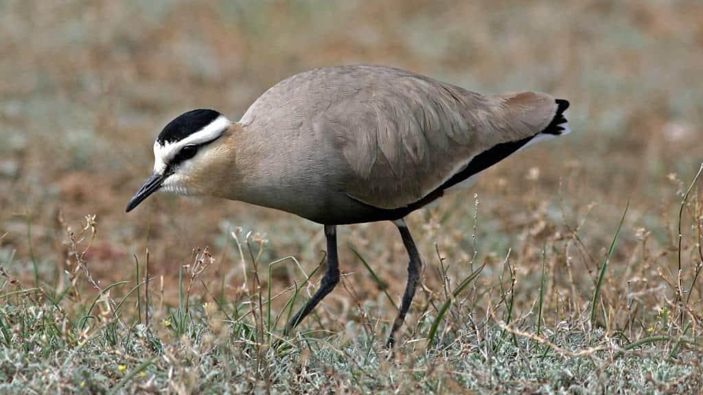 New Sociable Lapwing habitats discovered in Uzbekistan