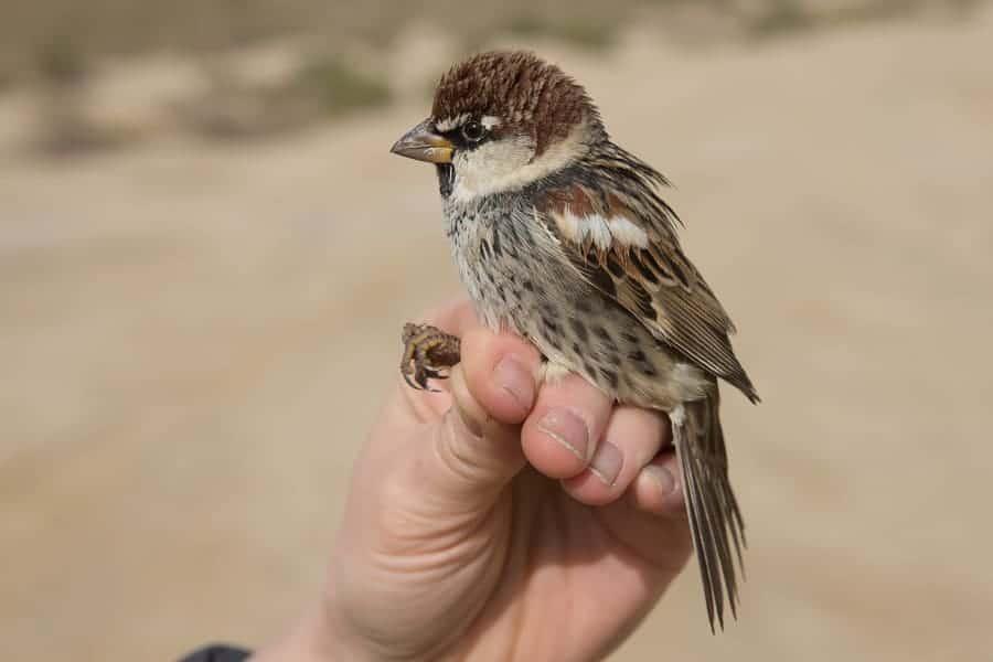 Spanish Sparrows a ringing ringing species for me in Saudi Arabia – Sabkhat Al Fasl