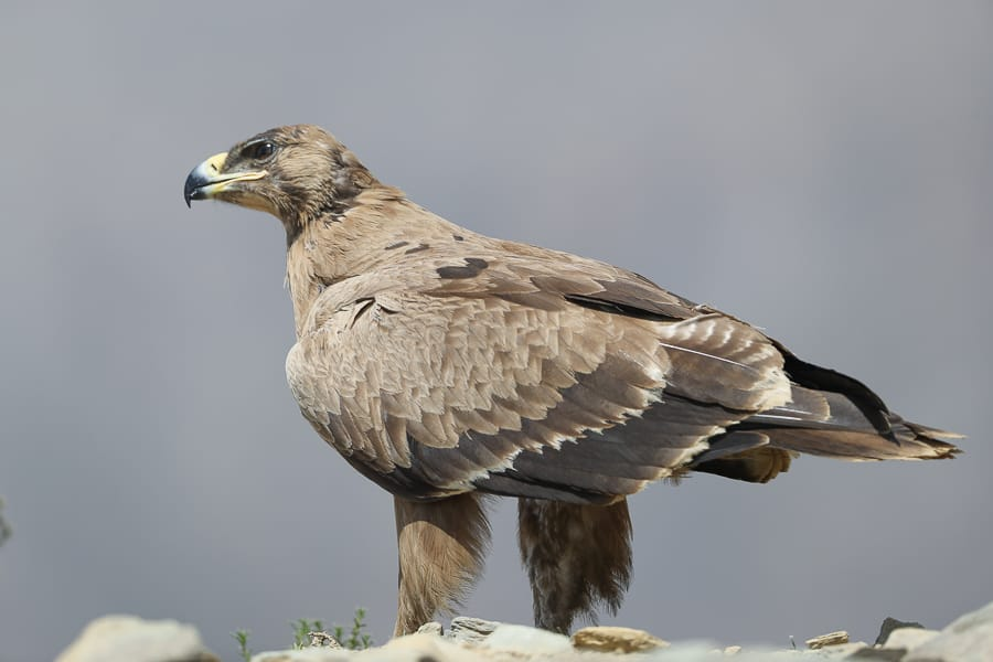 Steppe Eagles – Tanoumah to Abha road