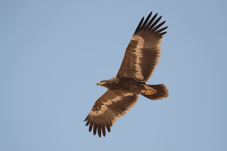Steppe Eagles – Tabuk