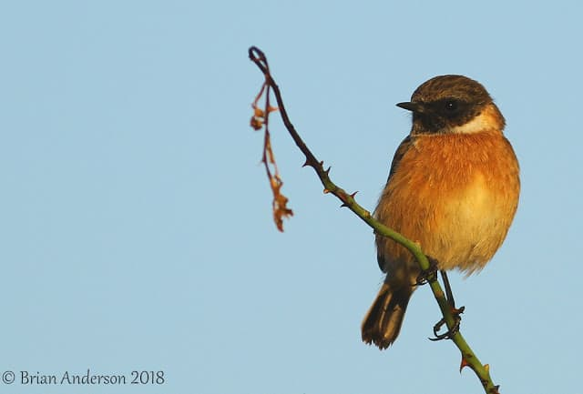 Eurasian Stonechat at Scotney