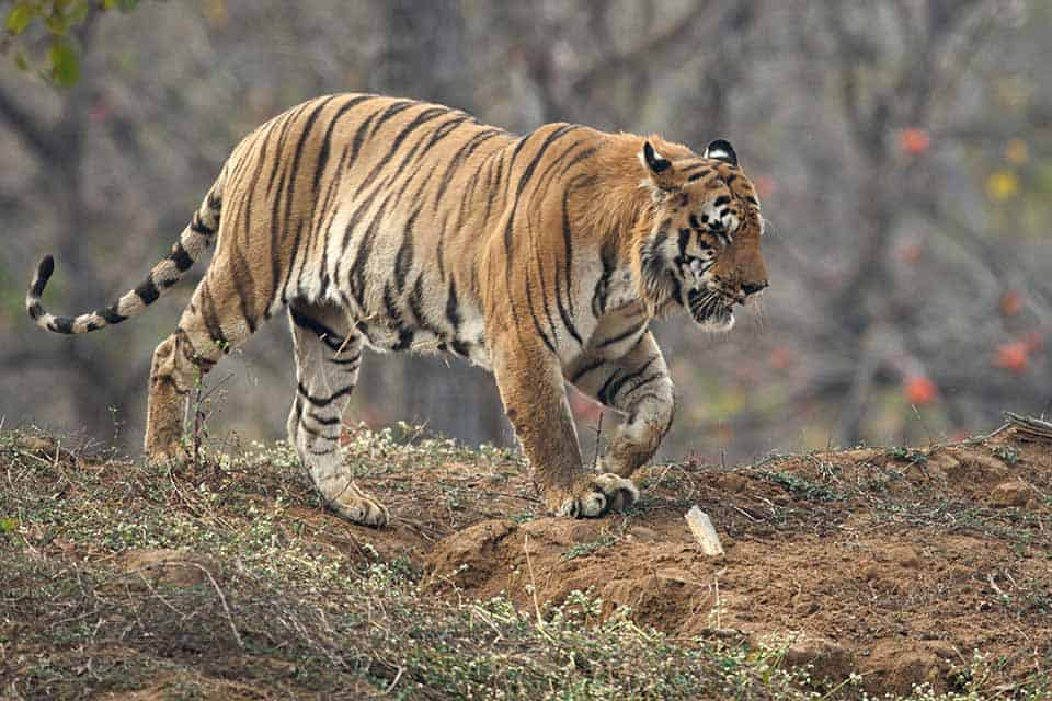 Wagdoh male – Probably India's largest Tiger