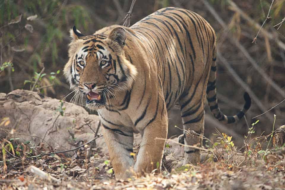 Matkasur – Dominant Tiger in Tadoba's core zone