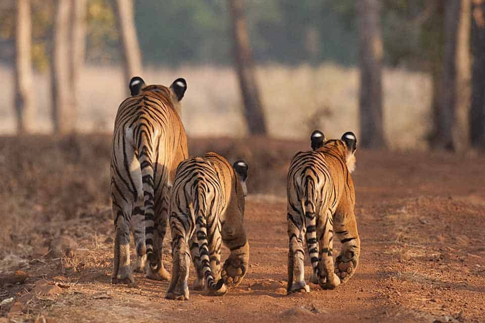 Cats' Walk in Tadoba National Park