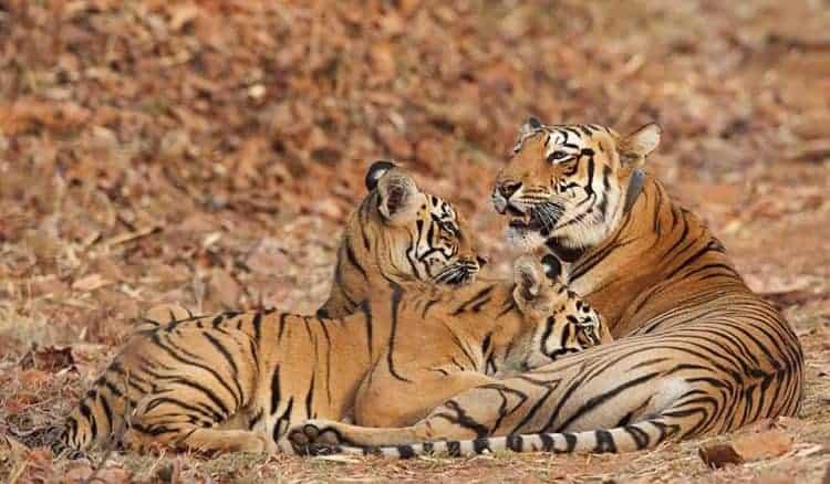 Tiger cubs suckling in wild Tadoba