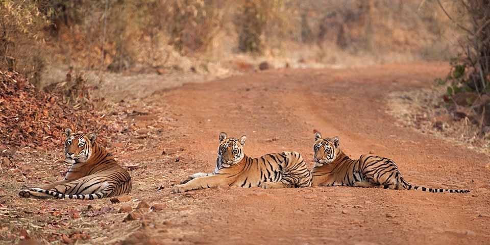 Choti Tara (Tigress) with cubs in Tadoba