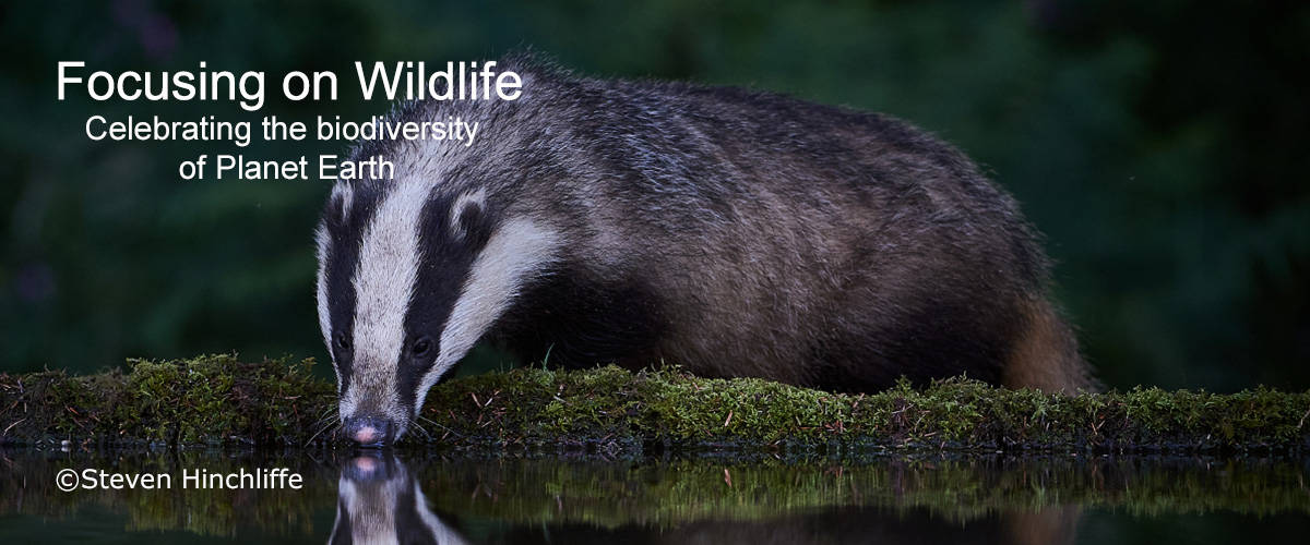 Thirsty Badger by Steven Hinchliffe