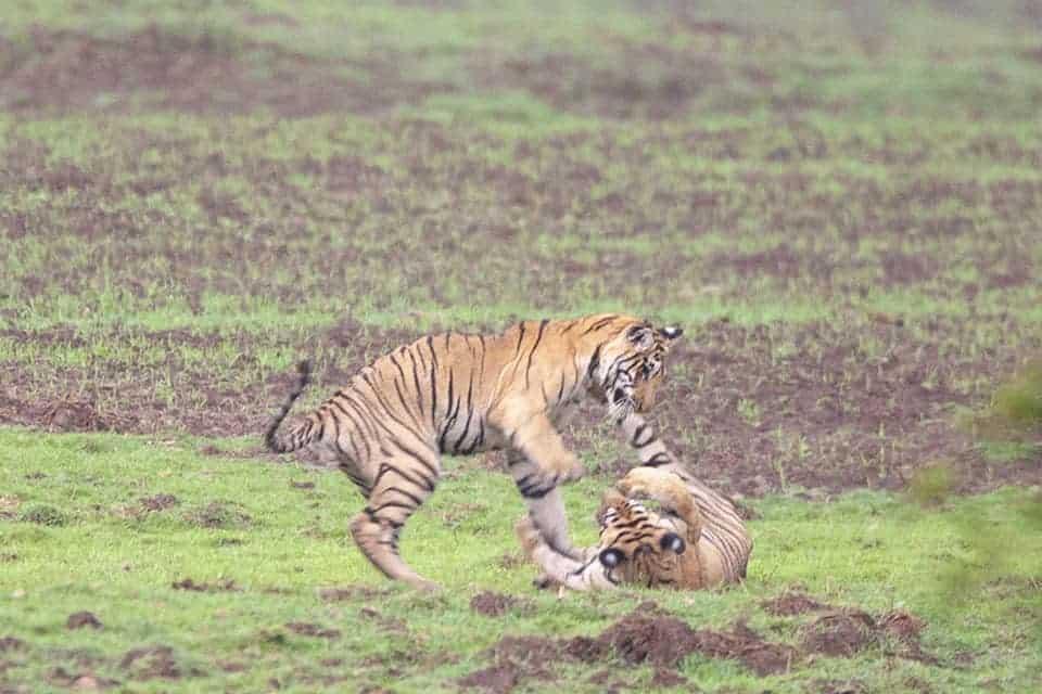 Tiger cubs playing in Tadoba
