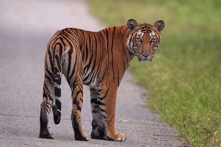 Tiger on MM road in Kabini