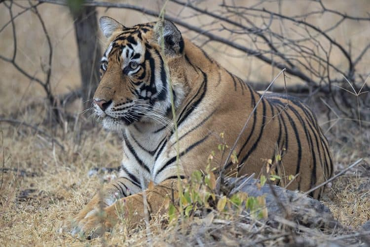 Tiger in Ranthambor2