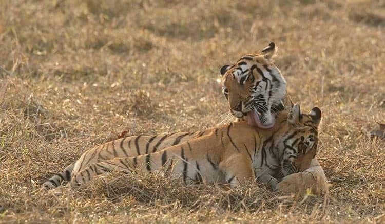 Tigress and her favourite son in Tadoba