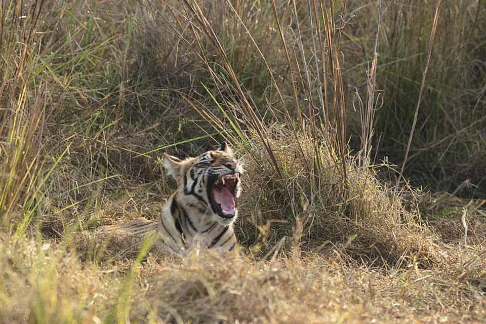 Tigers sun bathing in Tadoba