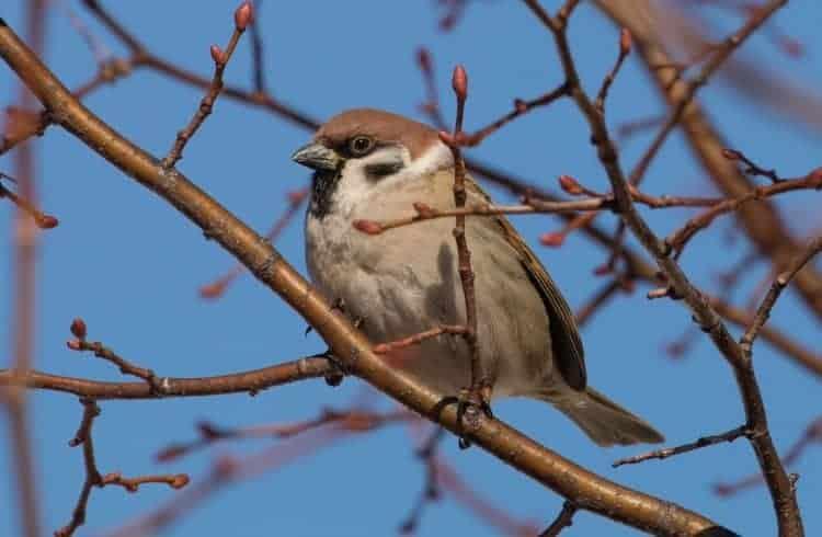 Eurasian Tree Sparrow in Minnesota