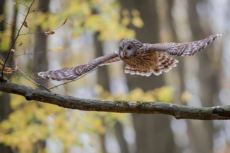 Ural Owl in Flight, October 2018, Semplén Hills, Hungary