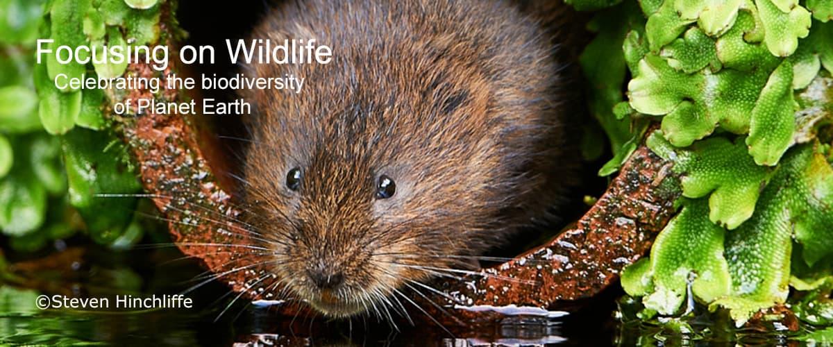 Water Vole by Steven Hinchliffe