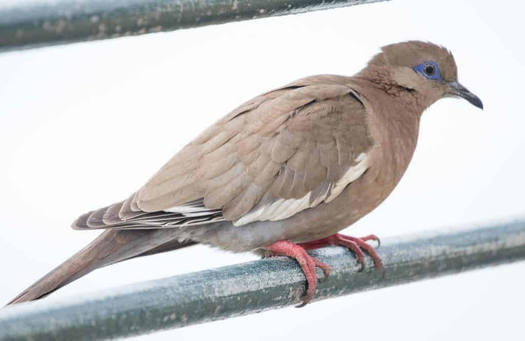 The first shall be last: West Peruvian Dove