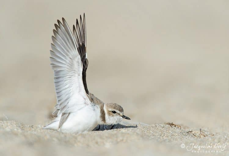 Saving the Western Snowy Plover