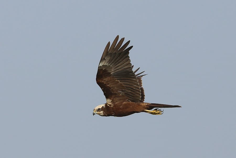 Western Marsh Harrier with prey – Sabkhat Al Fasl
