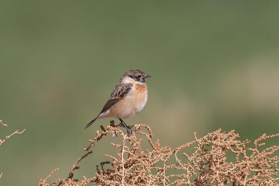 Last wintering species still around – Khafra Marsh