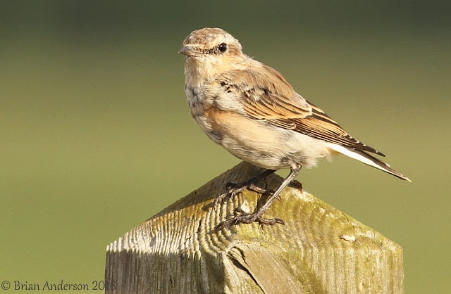 Wheatear at Minsmere
