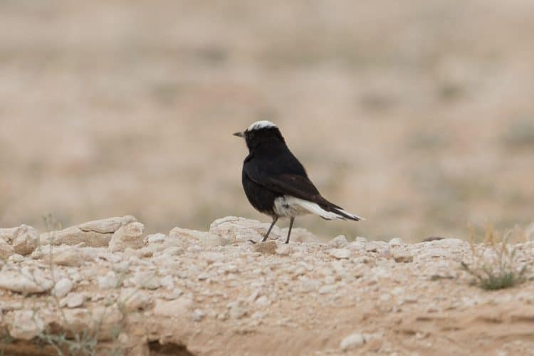 Wheatears – Shedgum Escarpment