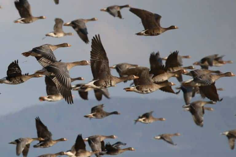 Waterbirds flock to well-run countries, new study shows
