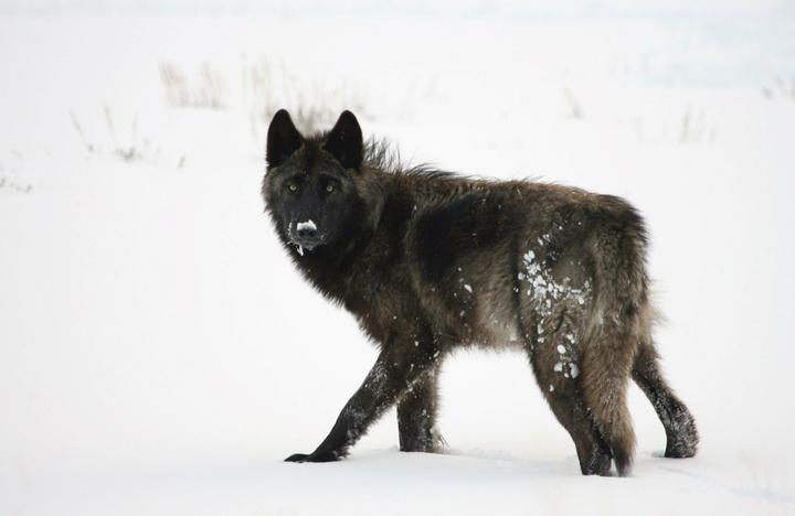 Yellowstone wolf's killing raises questions