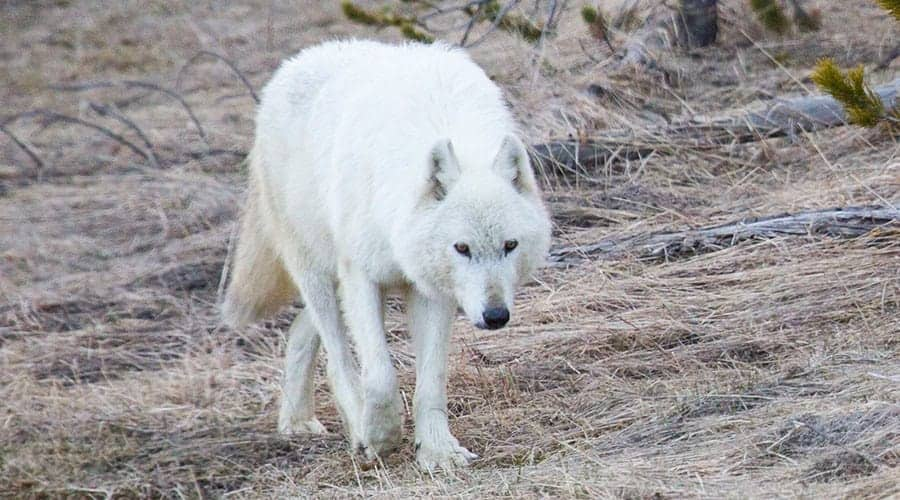 $10,000 reward offered to find killer of famous Yellowstone white wolf