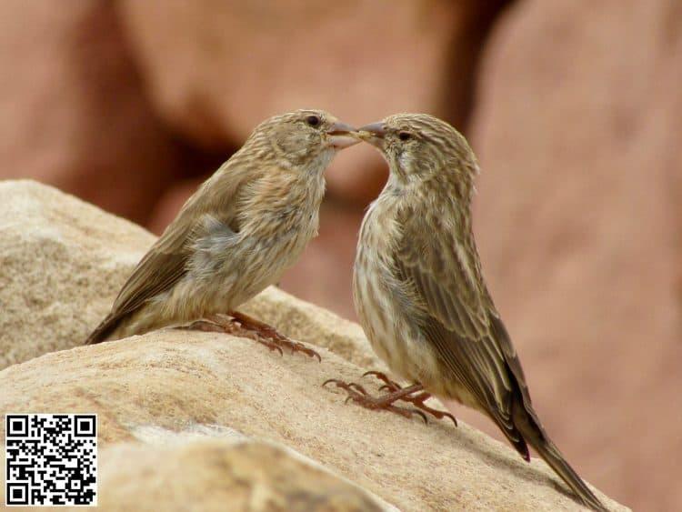 Yemen Serin Crithagra menachensis