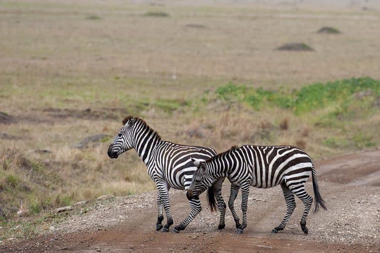 Zebra hostling in Masai Mara