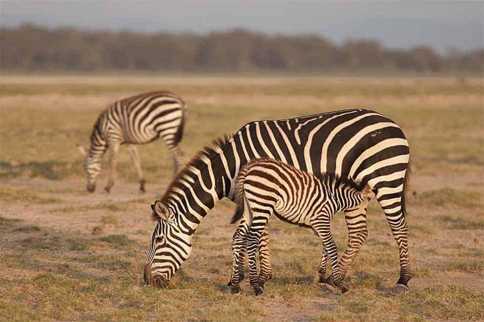 Suckling Zebra calf, Spur Fowl, Bustard, Lion and more at Amboseli
