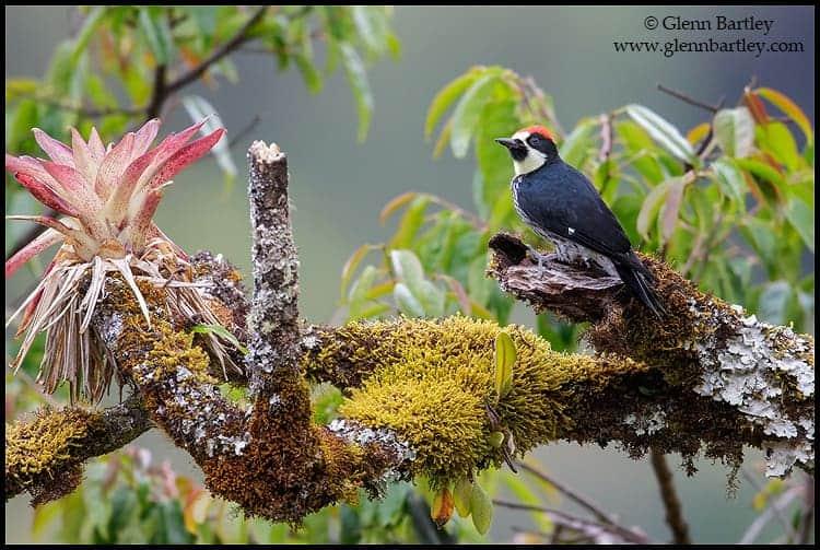 acorn-woodpecker-melanerpes-formicivorus