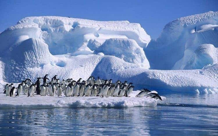 adelie penguins diving hope bay
