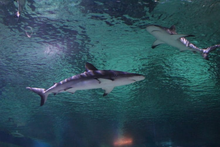 Court Rules Against Shark Culling and Catching in Australia!